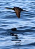BIRD - CORMORANT - PELAGIC CORMORANT - HANASAKI CAPE - NEMURO PENINSULA - HOKKAIDO JAPAN (7).JPG