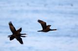 BIRD - CORMORANT - PELAGIC CORMORANT - HANASAKI CAPE - NEMURO PENINSULA - HOKKAIDO JAPAN (9).JPG