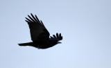 BIRD - CROW - CARRION CROW - AKAN INTERNATIONAL CRANE CENTER - HOKKAIDO JAPAN (1).JPG