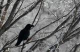 BIRD - CROW - JUNGLE CROW - OTOWABASHI - TSURUI TOWN - HOKKAIDO JAPAN (10).JPG