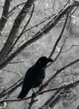 BIRD - CROW - JUNGLE CROW - OTOWABASHI - TSURUI TOWN - HOKKAIDO JAPAN (11).JPG
