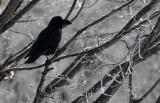 BIRD - CROW - JUNGLE CROW - OTOWABASHI - TSURUI TOWN - HOKKAIDO JAPAN (14).JPG