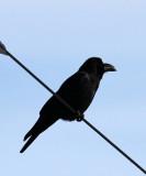 BIRD - CROW - JUNGLE CROW - OTOWABASHI - TSURUI TOWN - HOKKAIDO JAPAN (5).JPG