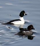BIRD - DUCK - COMMON GOLDENEYE - RAUSU, SHIRETOKO PENINSULA & NATIONAL PARK - HOKKAIDO JAPAN (12).JPG