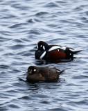 BIRD - DUCK - HARLEQUIN DUCK - RAUSU, SHIRETOKO PENINSULA & NATIONAL PARK - HOKKAIDO JAPAN (14).JPG