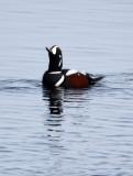 BIRD - DUCK - HARLEQUIN DUCK - RAUSU, SHIRETOKO PENINSULA & NATIONAL PARK - HOKKAIDO JAPAN (20).JPG