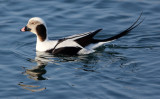 BIRD - DUCK - LONG-TAILED DUCK - HANASAKI CAPE - NEMURO PENINSULA - HOKKAIDO JAPAN (12).JPG