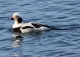 BIRD - DUCK - LONG-TAILED DUCK - HANASAKI CAPE - NEMURO PENINSULA - HOKKAIDO JAPAN (15).JPG