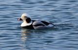 BIRD - DUCK - LONG-TAILED DUCK - HANASAKI CAPE - NEMURO PENINSULA - HOKKAIDO JAPAN (17).JPG