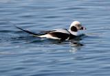 BIRD - DUCK - LONG-TAILED DUCK - HANASAKI CAPE - NEMURO PENINSULA - HOKKAIDO JAPAN (23).JPG