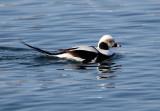 BIRD - DUCK - LONG-TAILED DUCK - HANASAKI CAPE - NEMURO PENINSULA - HOKKAIDO JAPAN (24).JPG