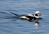 BIRD - DUCK - LONG-TAILED DUCK - HANASAKI CAPE - NEMURO PENINSULA - HOKKAIDO JAPAN (28).JPG