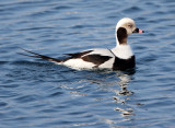BIRD - DUCK - LONG-TAILED DUCK - HANASAKI CAPE - NEMURO PENINSULA - HOKKAIDO JAPAN (3).JPG