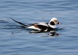 BIRD - DUCK - LONG-TAILED DUCK - HANASAKI CAPE - NEMURO PENINSULA - HOKKAIDO JAPAN (30).JPG