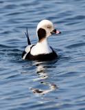 BIRD - DUCK - LONG-TAILED DUCK - HANASAKI CAPE - NEMURO PENINSULA - HOKKAIDO JAPAN (4).JPG