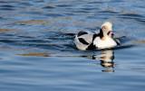 BIRD - DUCK - LONG-TAILED DUCK - HANASAKI CAPE - NEMURO PENINSULA - HOKKAIDO JAPAN (44).JPG
