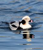 BIRD - DUCK - LONG-TAILED DUCK - HANASAKI CAPE - NEMURO PENINSULA - HOKKAIDO JAPAN (47).JPG
