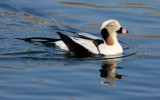 BIRD - DUCK - LONG-TAILED DUCK - HANASAKI CAPE - NEMURO PENINSULA - HOKKAIDO JAPAN (48).JPG