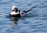 BIRD - DUCK - LONG-TAILED DUCK - HANASAKI CAPE - NEMURO PENINSULA - HOKKAIDO JAPAN (9).JPG