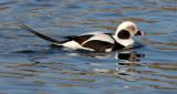 BIRD - DUCK - LONG-TAILED DUCK - HANASAKI HARBOR, NEMURO PENINSULA, HOKKAIDO (31).JPG