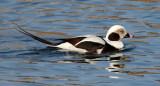 BIRD - DUCK - LONG-TAILED DUCK - HANASAKI HARBOR, NEMURO PENINSULA, HOKKAIDO (32).JPG