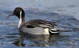 BIRD - DUCK - NORTHERN PINTAIL - ABASHIRI HOKKAIDO JAPAN (1).JPG