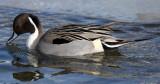 BIRD - DUCK - NORTHERN PINTAIL - ABASHIRI HOKKAIDO JAPAN (4).JPG