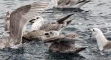 BIRD - GULL - SLATY-BACKED GULL - FIRST YEAR IMMATURES - RAUSU, SHIRETOKO PENINSULA, HOKKAIDO JAPAN (2).JPG