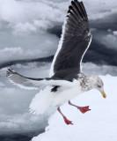 BIRD - GULL - SLATY-BACKED GULL - RAUSU - SHIRETOKO PENINSULA & NATIONAL PARK - HOKKAIDO JAPAN (1).JPG