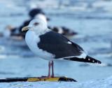 BIRD - GULL - SLATY-BACKED GULL - RAUSU, SHIRETOKO PENINSULA & NATIONAL PARK, HOKKAIDO JAPAN (3).JPG