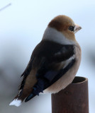 BIRD - HAWFINCH - YOROUSHI ONSEN, DAIICHI SPA, HOKKAIDO JAPAN (13).JPG
