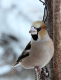 BIRD - HAWFINCH - YOROUSHI ONSEN, DAIICHI SPA, HOKKAIDO JAPAN (5).JPG