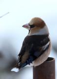 BIRD - HAWFINCH - YOROUSHI ONSEN, DAIICHI SPA, HOKKAIDO JAPAN (7).JPG