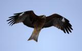 BIRD - KITE - BLACK KITE - AKAN INTERNATIONAL CRANE CENTER - HOKKAIDO JAPAN (1).JPG