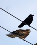 BIRD - KITE - BLACK KITE - NOTSUKE PENINSULA - HOKKAIDO JAPAN (2).JPG
