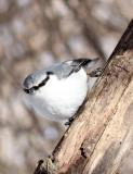 BIRD - NUTHATCH - EURASIAN NUTHATCH - KINOHIROBA PARK - ABASHIRI - HOKKAIDO JAPAN (15).JPG