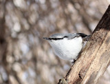 BIRD - NUTHATCH - EURASIAN NUTHATCH - KINOHIROBA PARK - ABASHIRI - HOKKAIDO JAPAN (16).JPG