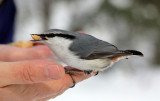 BIRD - NUTHATCH - EURASIAN NUTHATCH - KINOHIROBA PARK - ABASHIRI - HOKKAIDO JAPAN (9).JPG
