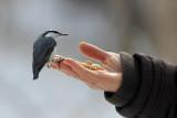 BIRD - NUTHATCH - EURASIAN NUTHATCH - KINOHIROBA PARK, ABASHIRI HOKKAIDO JAPAN (3).JPG