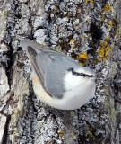 BIRD - NUTHATCH - EURASIAN NUTHATCH - KUSSHARO LAKE - HOKKAIDO JAPAN (10).JPG