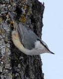 BIRD - NUTHATCH - EURASIAN NUTHATCH - KUSSHARO LAKE - HOKKAIDO JAPAN (15).JPG