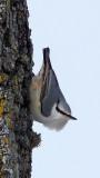BIRD - NUTHATCH - EURASIAN NUTHATCH - KUSSHARO LAKE - HOKKAIDO JAPAN (3).JPG