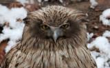 BIRD - OWL - BLAKISTON'S FISH OWL - YOROUSHI ONSEN DAIICHI LODGE, HOKKAIDO JAPAN (11).jpg