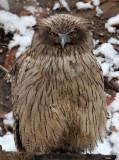 BIRD - OWL - BLAKISTON'S FISH OWL - YOROUSHI ONSEN DAIICHI LODGE, HOKKAIDO JAPAN (12).JPG
