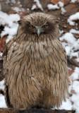 BIRD - OWL - BLAKISTON'S FISH OWL - YOROUSHI ONSEN DAIICHI LODGE, HOKKAIDO JAPAN (14).JPG