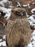 BIRD - OWL - BLAKISTON'S FISH OWL - YOROUSHI ONSEN DAIICHI LODGE, HOKKAIDO JAPAN (26).JPG