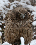 BIRD - OWL - BLAKISTON'S FISH OWL - YOROUSHI ONSEN DAIICHI LODGE, HOKKAIDO JAPAN (40).JPG