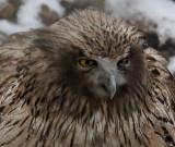 BIRD - OWL - BLAKISTON'S FISH OWL - YOROUSHI ONSEN DAIICHI LODGE, HOKKAIDO JAPAN (41).jpg