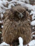 BIRD - OWL - BLAKISTON'S FISH OWL - YOROUSHI ONSEN DAIICHI LODGE, HOKKAIDO JAPAN (42).JPG
