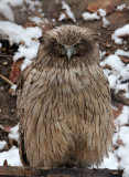 BIRD - OWL - BLAKISTON'S FISH OWL - YOROUSHI ONSEN DAIICHI LODGE, HOKKAIDO JAPAN (9).JPG